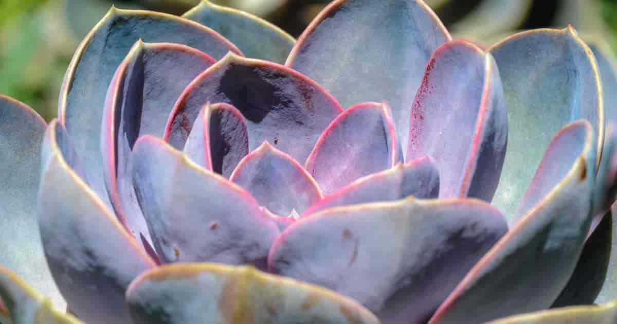 Succulent Echeveria Pearl of Nurnberg up close