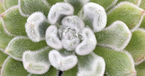 Pulvinata Echeveria rosettes covered with white hairs up close