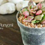 Attractive potted succulent Echeveria Runyonii