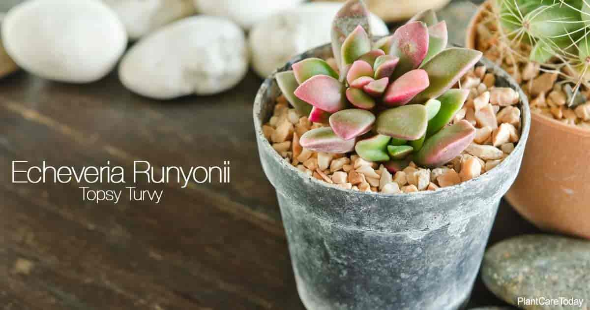 Attractive potted succulent Echeveria Runyonii