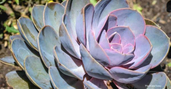 attractive echeveria succulent plant with a blue pink blush