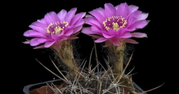 Echinopsis mamillosa var. kermesina (Bolivia cactus)