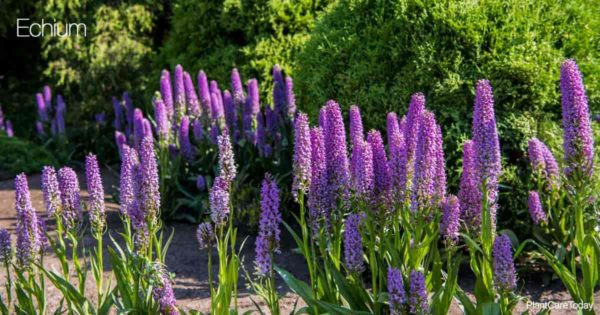 Purple Blooming Echium Plant