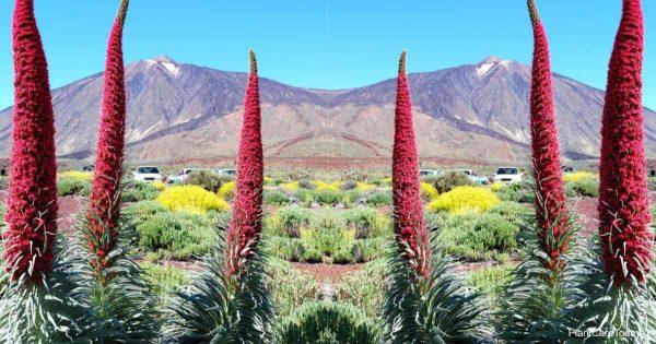 Blooming Tower Of Jewels (Echium Wildpretii)