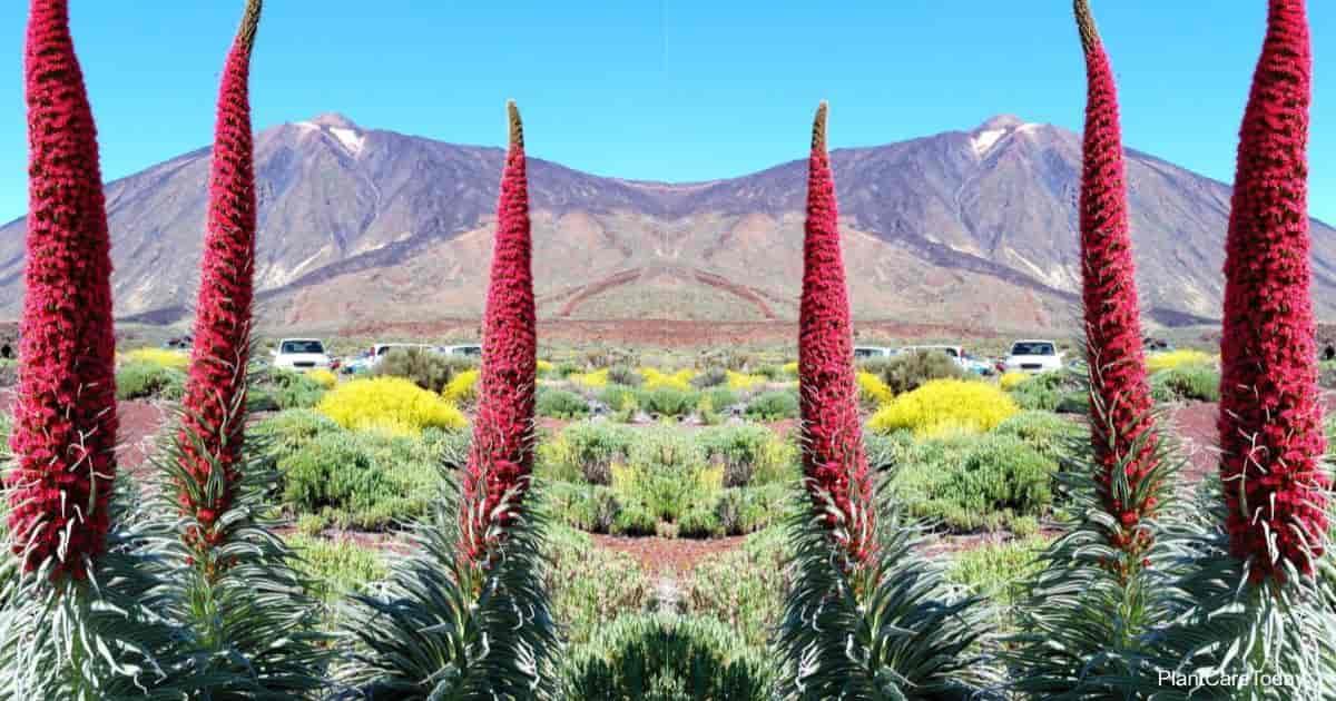 Flowering Tower Of Jewels (Echium Wildpretii)
