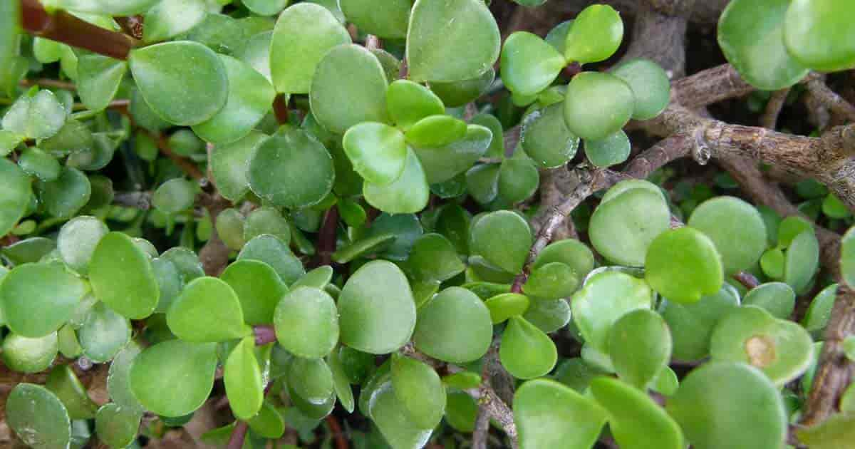 Elephant Bush Growing And Care Of Portulacaria Afra