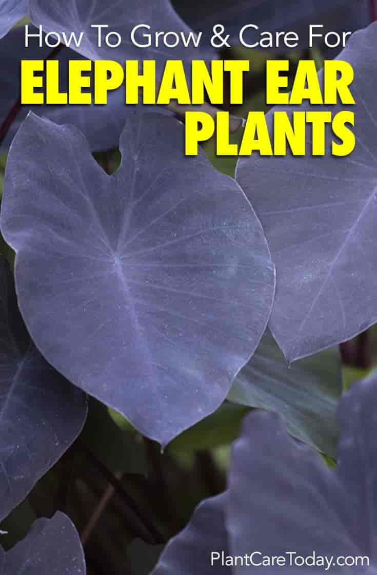 Elephant Ear Plant How To Care For Colocasia Esculenta