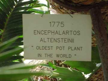 encephalartos-altensteinii1