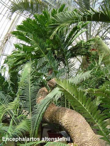 encephalartos-altensteinii2