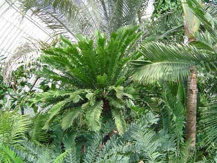 encephalartos-altensteinii3