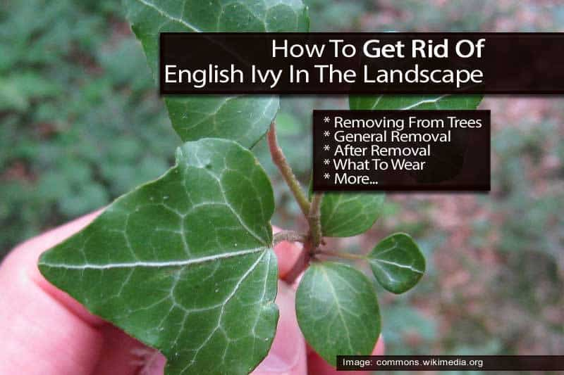 Getting Rid Of English Ivy In The Landscape