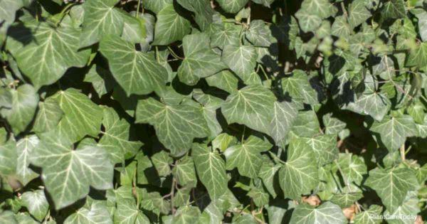 english ivy and invasive weed