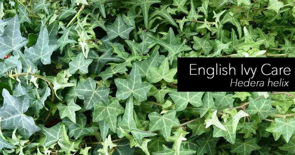 Hedera helix - English Ivy care is easy but the plant can become invasive