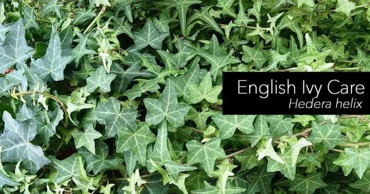 Hedera Helix English Ivy Care Is Easy But The Plant Can Become Invasive