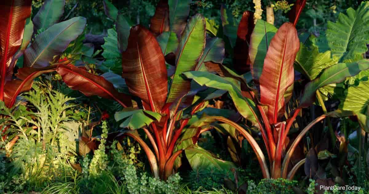 Ensete Maurelii Banana