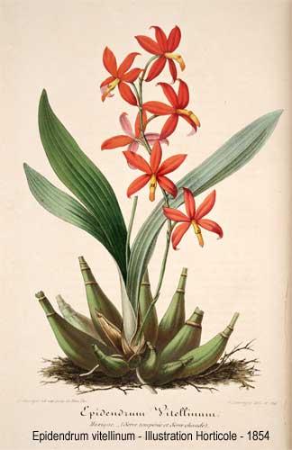 epidendrum-vitellinum-1854