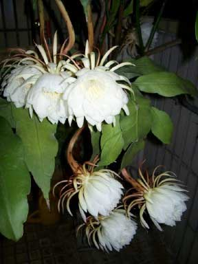 Epiphyllum Orchid Cactus Growing Tips And Care
