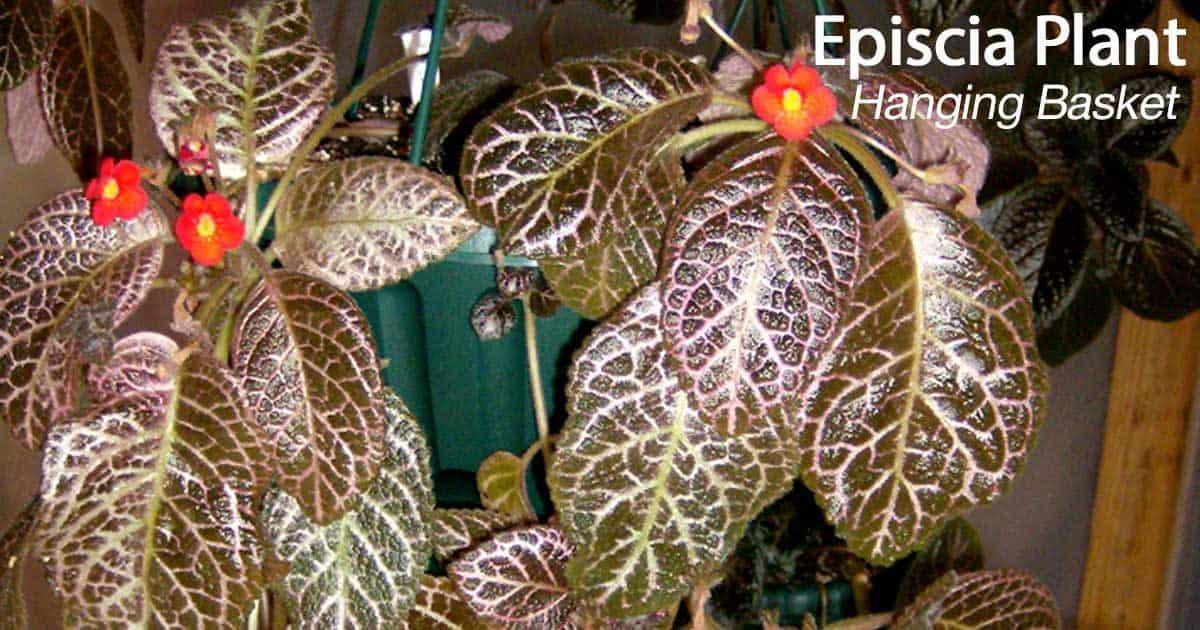episcia plant hanging basket