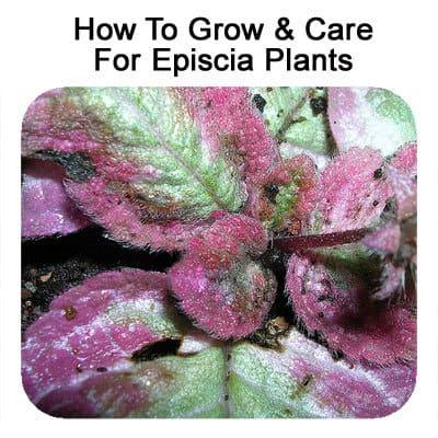 episcia-r-030313