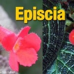 Episcia Plant: How To Grow And Care For The Flame Violet