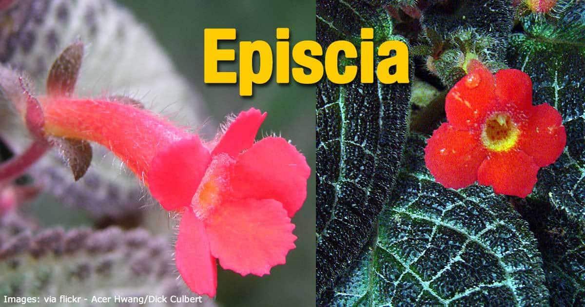 episcia plant