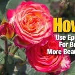 How To Use Epsom Salt For Brighter, More Beautiful Roses