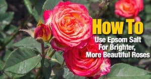 Use Epsom Salts for brighter more beautiful roses