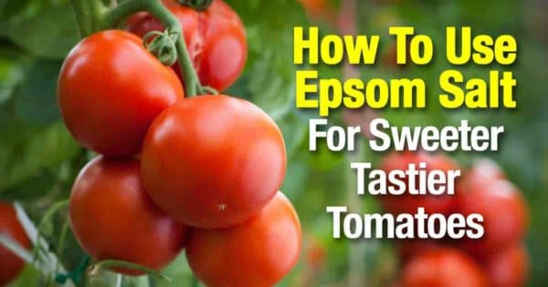 Epsom salt for tomatoes help the make sweeter fruit