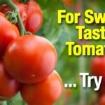 How To Use Epsom Salt For Sweeter Tastier Tomatoes