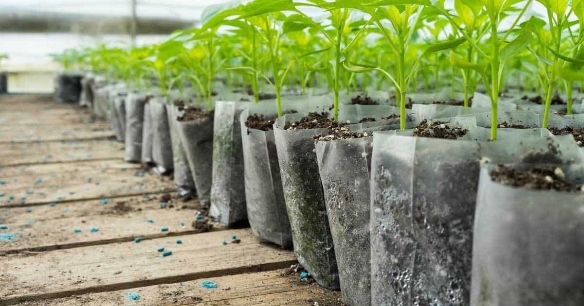 Epsom salts aids seedlings like these  overcome shock when transplanting