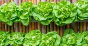 epsom salts help green up vegetables like this letuce