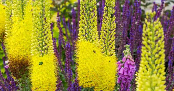 Rocket like blooms of the Foxtail lily