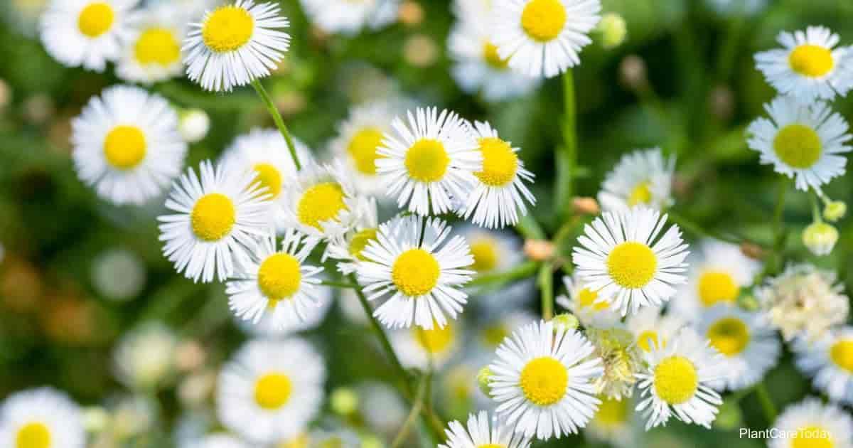 annual flowering fleabane - Erigeron annuus