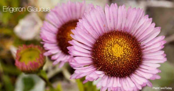 Aster-like blue-purple flowers of the Erigeron Glaucus - Seaside Daisy