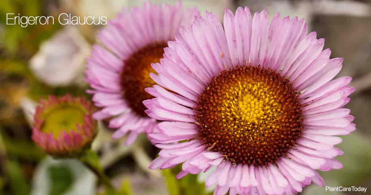 Aster-like blue-purple flowers of the Erigeron Glaucus - Seaside Daisy