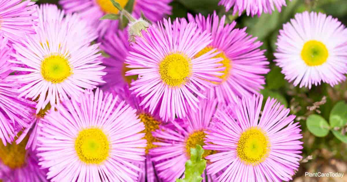 Colorful blooms of the Santa Barbara Daisy (Erigeron Karvinskianus)