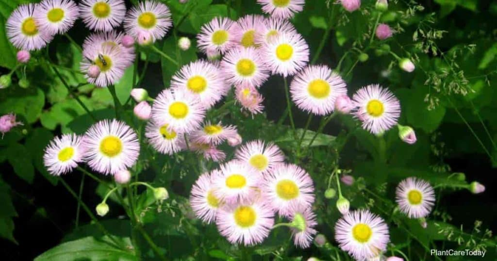 Flowers of the Erigeron Philadelphicus - Philadelphia Fleabane