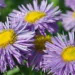 Flowering Fleabane Daisy (Erigeron Plant)