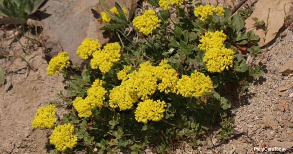 Flowering Eriogonum umbellatum