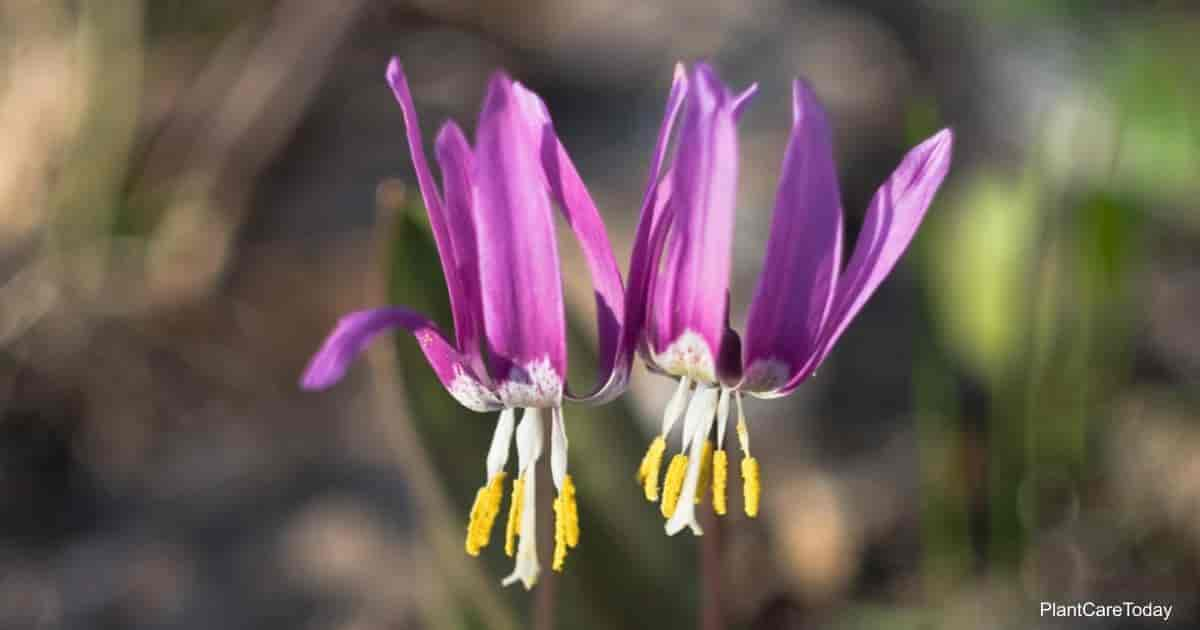Erythronium Trout Lily flowers