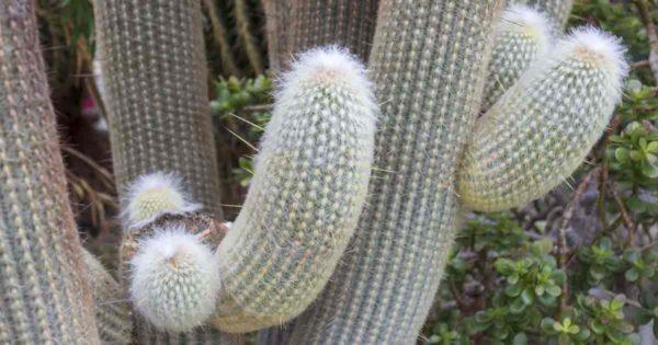 Large Peruvian Old Man Cactus
