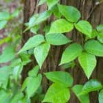 Amazing Tips On How To Use Essential Oils For Poison Ivy Relief
