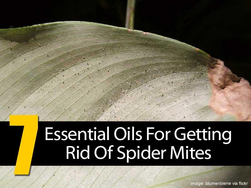 spider mites infestation on white bird of paradise