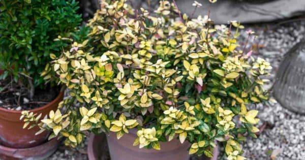 Euonymus Japonicus (Japanese Euonymus)