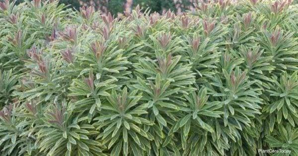 Euphorbia ascot rainbow plants succulent