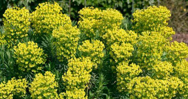Flowering Mediterranean Spurge