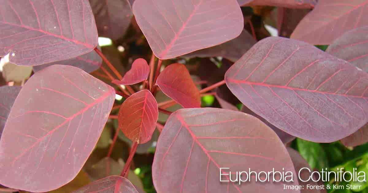Euphorbia Cotinifolia - Red-Leaf Euphorbia
