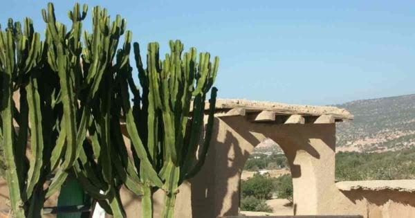 African Euphorbia Candelabra Tree cactus