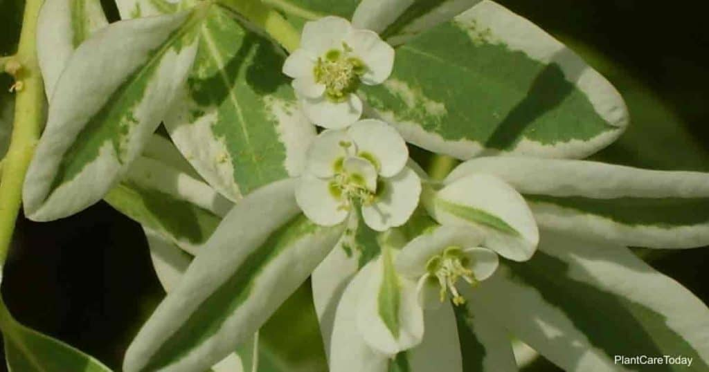 Blooms and foliage of Euphorbia marginata
