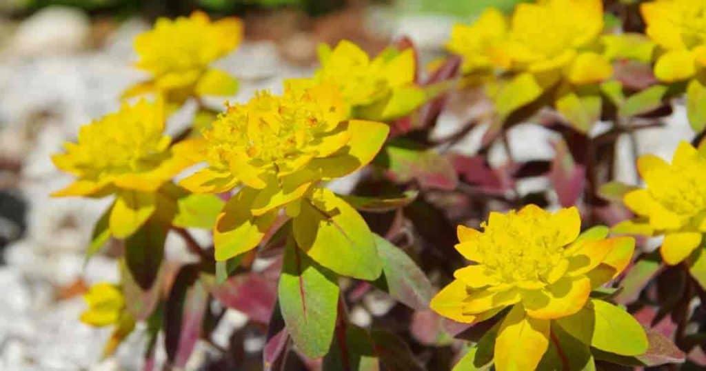 flowering polychroma Euphorbia